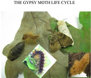 The Gypsy Moth Life Cycle with moths pictured.